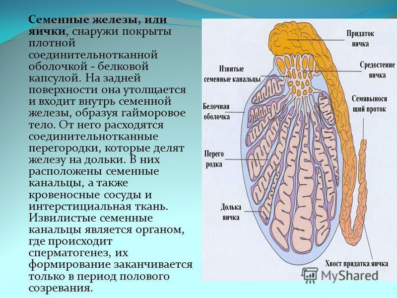 Семенные железы, или яички, снаружи покрыты плотной соединительнотканной оболочкой - белковой капсулой. На задней поверхности она утолщается и входит внутрь семенной железы, образуя гайморовое тело. От него расходятся соединительнотканные перегородки