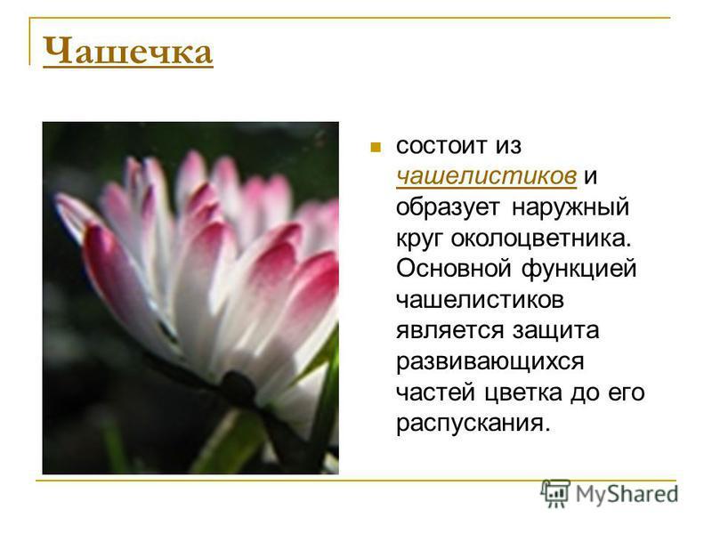 Чашечка состоит из чашелистиков и образует наружный круг околоцветника. Основной функцией чашелистиков является защита развивающихся частей цветка до его распускания. чашелистиков