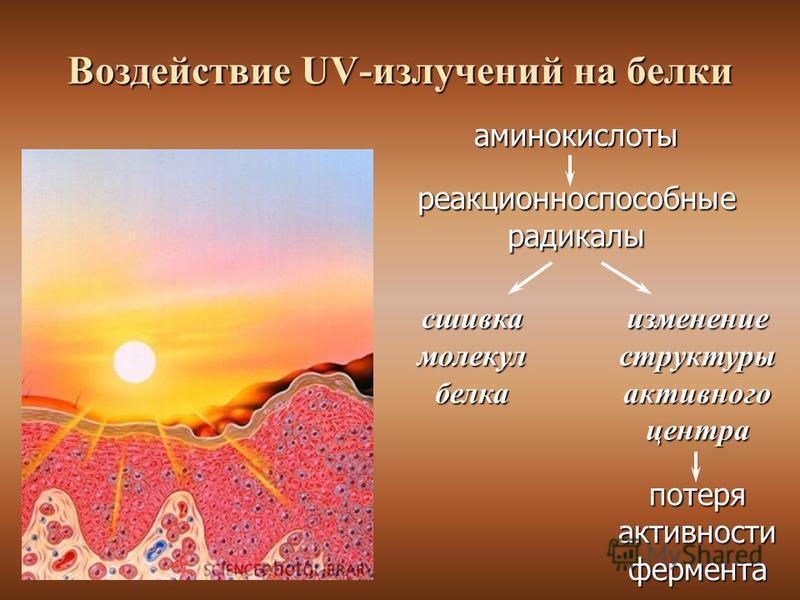 Воздействие UV-излучений на белки аминокислоты реакционноспособные радикалы сшивкамолекулбелка потеря активности фермента изменение структуры активного центра