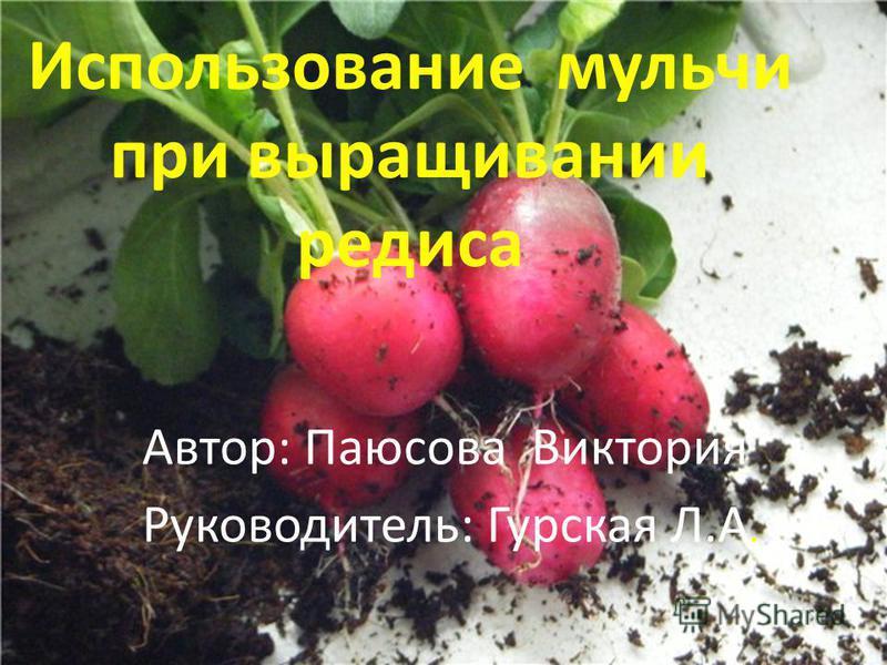 Использование мульчи при выращивании редиса Автор: Паюсова Виктория Руководитель: Гурская Л.А.