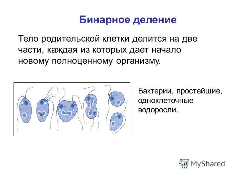 Бинарное деление Тело родительской клетки делится на две части, каждая из которых дает начало новому полноценному организму. Бактерии, простейшие, одноклеточные водоросли.