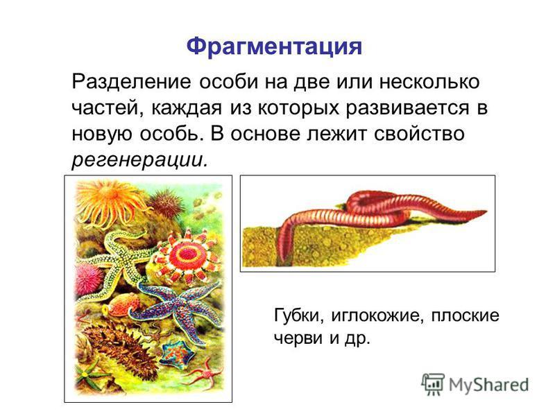 Разделение особи на две или несколько частей, каждая из которых развивается в новую особь. В основе лежит свойство регенерации. Фрагментация Губки, иглокожие, плоские черви и др.