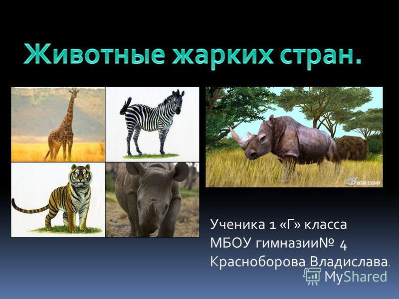 Ученика 1 «Г» класса МБОУ гимназии 4 Красноборова Владислава.