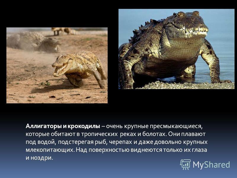 Аллигаторы и крокодилы – очень крупные пресмыкающиеся, которые обитают в тропических реках и болотах. Они плавают под водой, подстерегая рыб, черепах и даже довольно крупных млекопитающих. Над поверхностью виднеются только их глаза и ноздри.