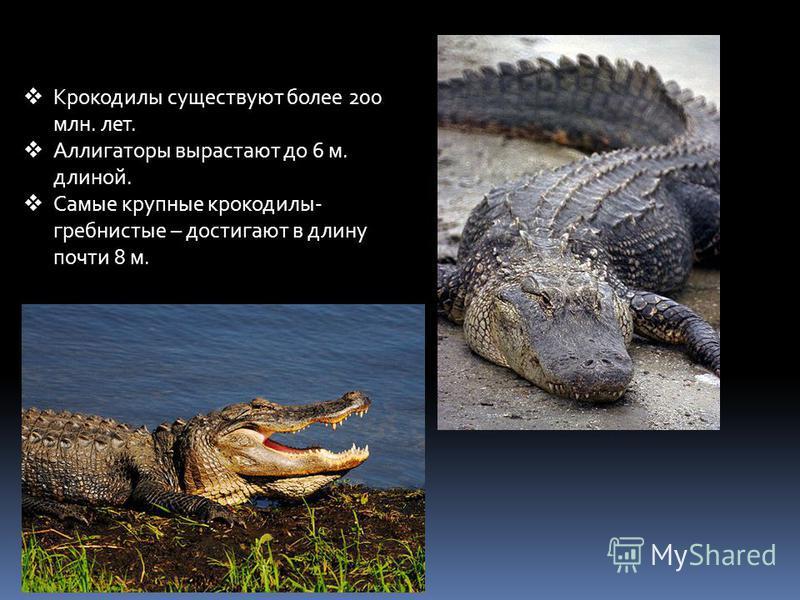 Крокодилы существуют более 200 млн. лет. Аллигаторы вырастают до 6 м. длиной. Самые крупные крокодилы- гребнистые – достигают в длину почти 8 м.