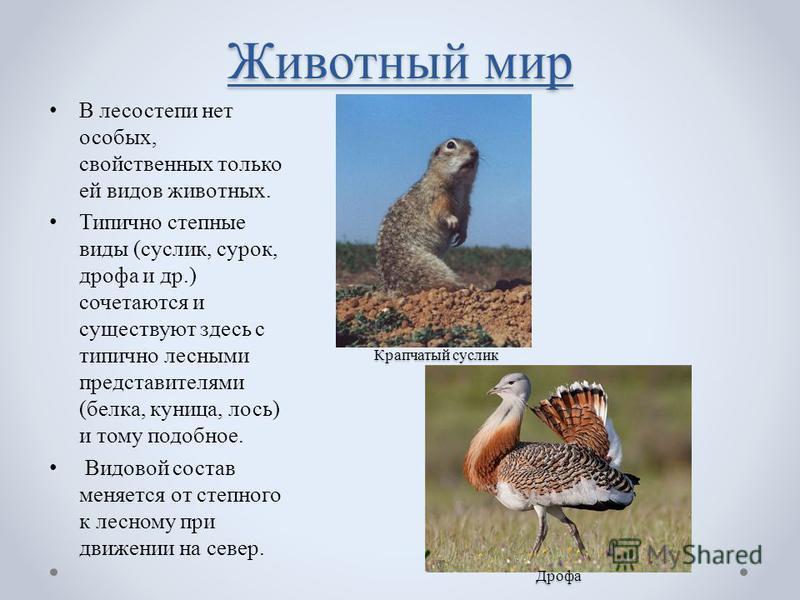 Животный мир В лесостепи нет особых, свойственных только ей видов животных. Типично степные виды (суслик, сурок, дрофа и др.) сочетаются и существуют здесь с типично лесными представителями (белка, куница, лось) и тому подобное. Видовой состав меняет