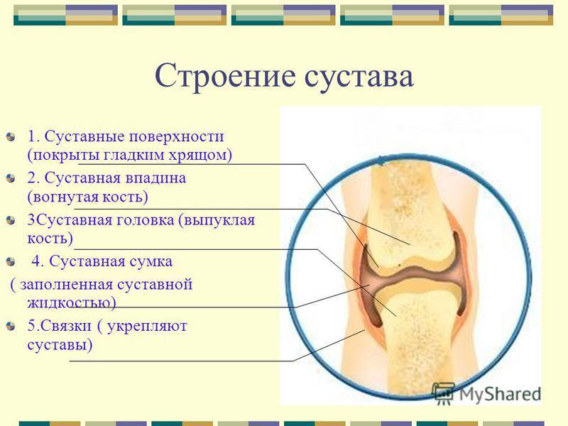 Строение сустава 1. Суставные поверхности (покрыты гладким хрящом) 2. Суставная впадина (вогнутая кость) 3Суставная головка (выпуклая кость) 4. Суставная сумка ( заполненная суставной жидкостью) 5. Связки ( укрепляют суставы)