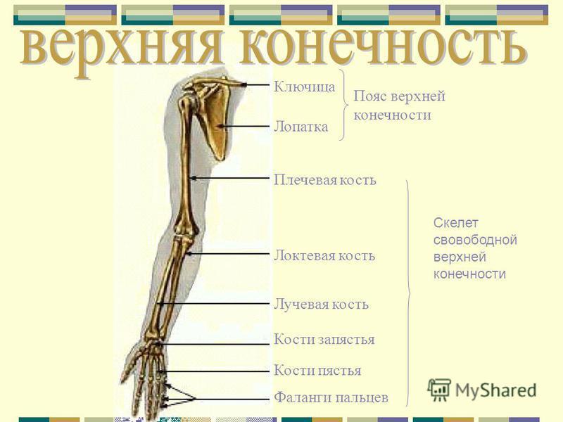 Ключица Лопатка Плечевая кость Локтевая кость Лучевая кость Кости запястья Кости пястья Фаланги пальцев Пояс верхней конечности Скелет свободной верхней конечности