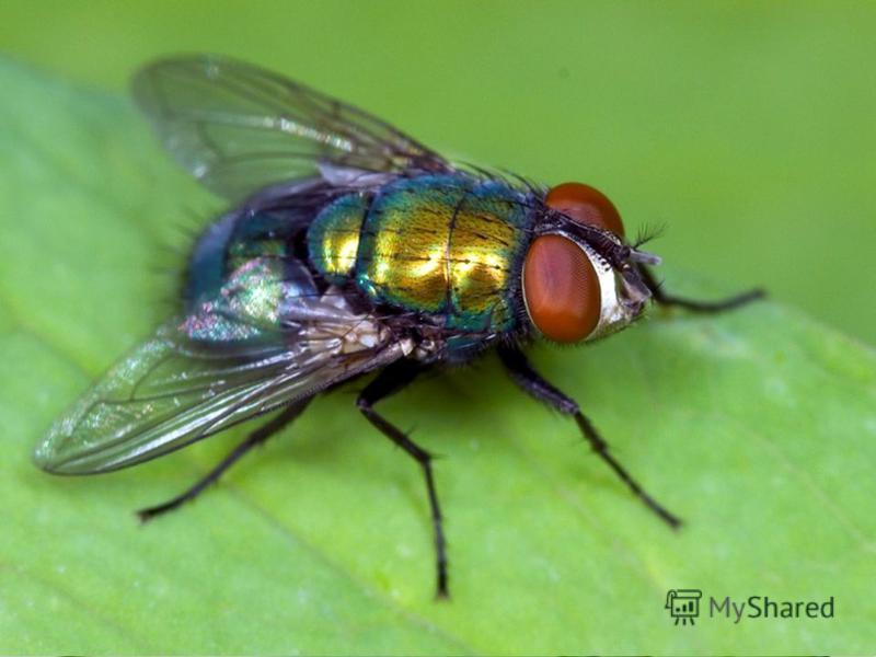 Представить рекламу самого полезного, любимого человеком объекта живой природы – мухи. Оценка конкурса - 10 баллов.