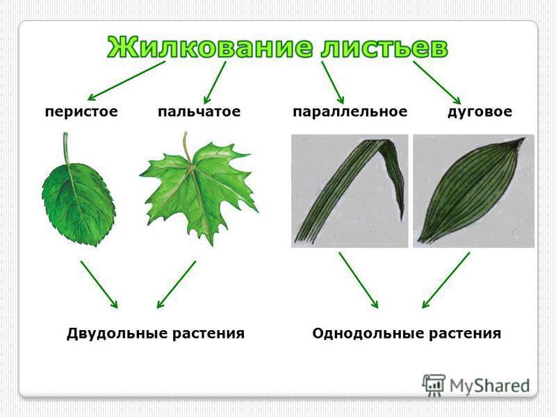 перистоепальчатоепараллельное дуговое Двудольные растения Однодольные растения