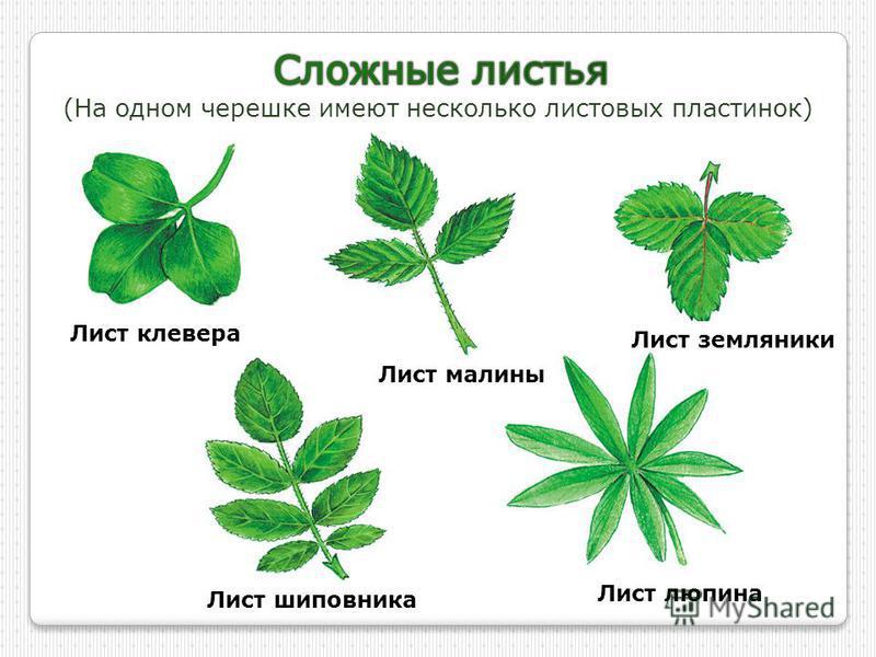 (На одном черешке имеют несколько листовых пластинок) Лист клевера Лист малины Лист земляники Лист шиповника Лист люпина