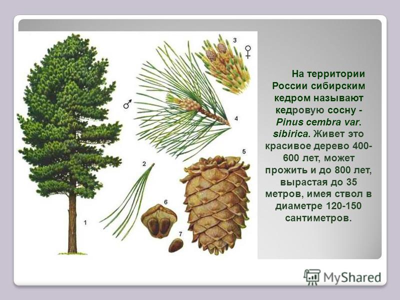 На территории России сибирским кедром называют кедровую сосну - Pinus cembra var. sibirica. Живет это красивое дерево 400- 600 лет, может прожить и до 800 лет, вырастая до 35 метров, имея ствол в диаметре 120-150 сантиметров.