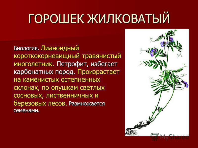 ГОРОШЕК ЖИЛКОВАТЫЙ Биология. Лианоидный короткокорневищный травянистый многолетник. Петрофит, избегает карбонатных пород. Произрастает на каменистых остепненных склонах, по опушкам светлых сосновых, лиственничных и березовых лесов. Размножается семен