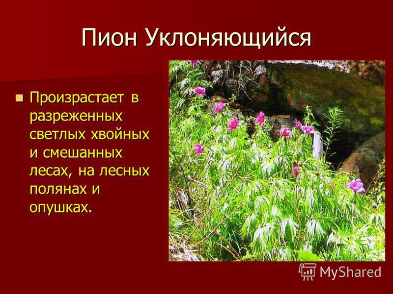 Пион Уклоняющийся Произрастает в разреженных светлых хвойных и смешанных лесах, на лесных полянах и опушках. Произрастает в разреженных светлых хвойных и смешанных лесах, на лесных полянах и опушках.