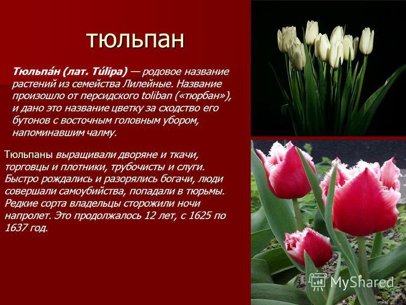 тюльпан Тюльпа́н (лат. Túlipa) родовое название растений из семейства Лилейные. Название произошло от персидского toliban («тюрбан»), и дано это название цветку за сходство его бутонов с восточным головным убором, напоминавшим чалму. Тюльпан Тюльпаны