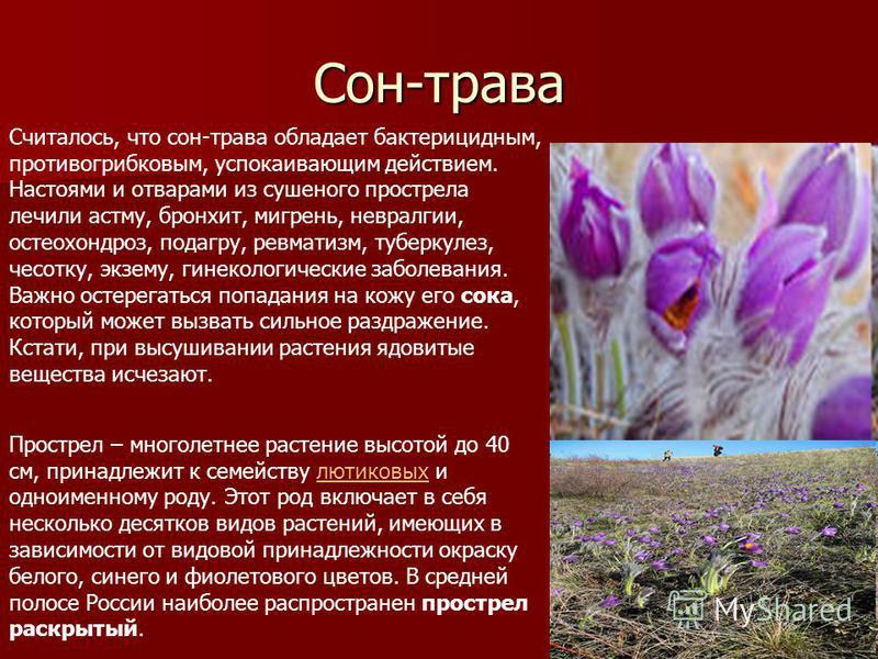 Сон-трава Считалось, что сон-трава обладает бактерицидным, противогрибковым, успокаивающим действием. Настоями и отварами из сушеного прострела лечили астму, бронхит, мигрень, невралгии, остеохондроз, подагру, ревматизм, туберкулез, чесотку, экзему,