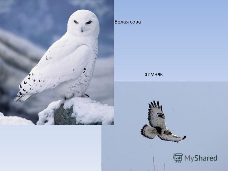 зимняк Белая сова