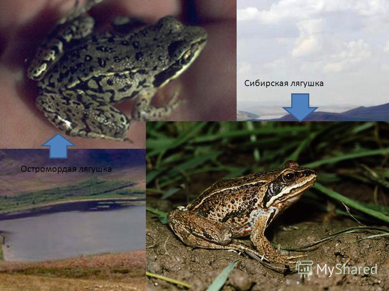Сибирская лягушка Остромордая лягушка
