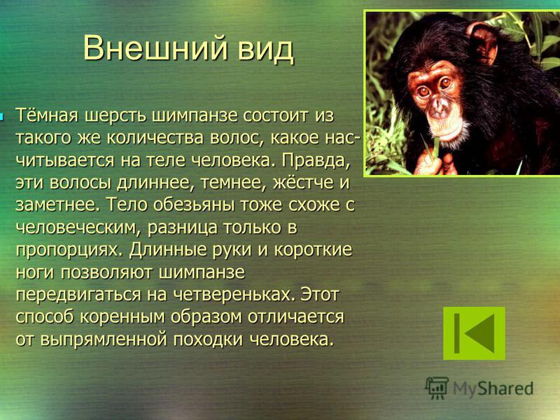 Шимпанзе ведут как древесный, так и наземный образ жизни. Продолжительность их жизни около 40 лет. Обезьяны могут достигать роста 170 см. Объём мозга шимпанзе составляет половину объёма мозга человека. Шимпанзе ведут как древесный, так и наземный обр