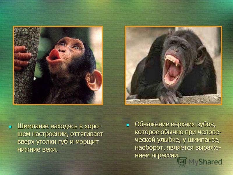 Общение и взаимоотношения в группе Шимпанзе живут сообщества- ми от 30 до 80 особей. Во главе стада стоит сильный самец. Шимпанзе живут сообщества- ми от 30 до 80 особей. Во главе стада стоит сильный самец. 6-8 часов сутки шимпанзе тратят на поиски п