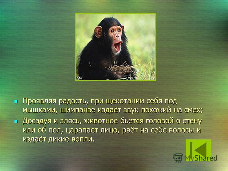 Шимпанзе находясь в хорошем настроении, оттягивает вверх уголки губ и морщит нижние веки. Шимпанзе находясь в хорошем настроении, оттягивает вверх уголки губ и морщит нижние веки. Обнажение верхних зубов, которое обычно при человеческой улыбке, у шим