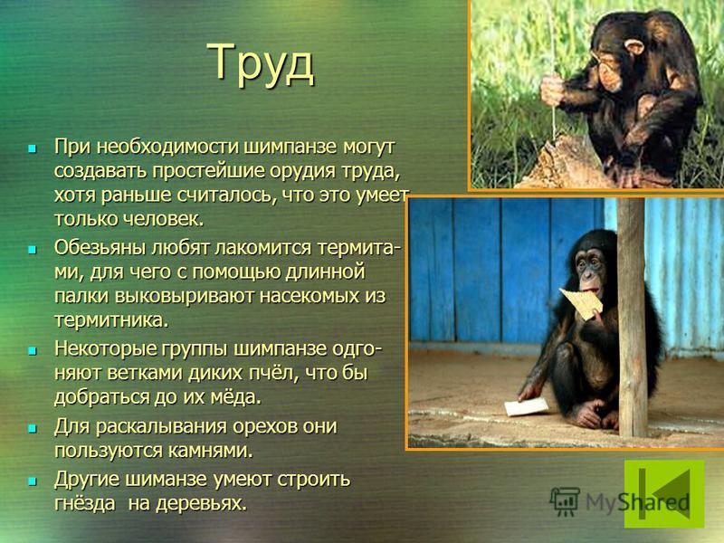 Проявляя радость, при щекотании себя под мышками, шимпанзе издаёт звук похожий на смех; Досадуя и злясь, животное бьется головой о стену или об пол, царапает лицо, рвёт на себе волосы и издаёт дикие вопли.
