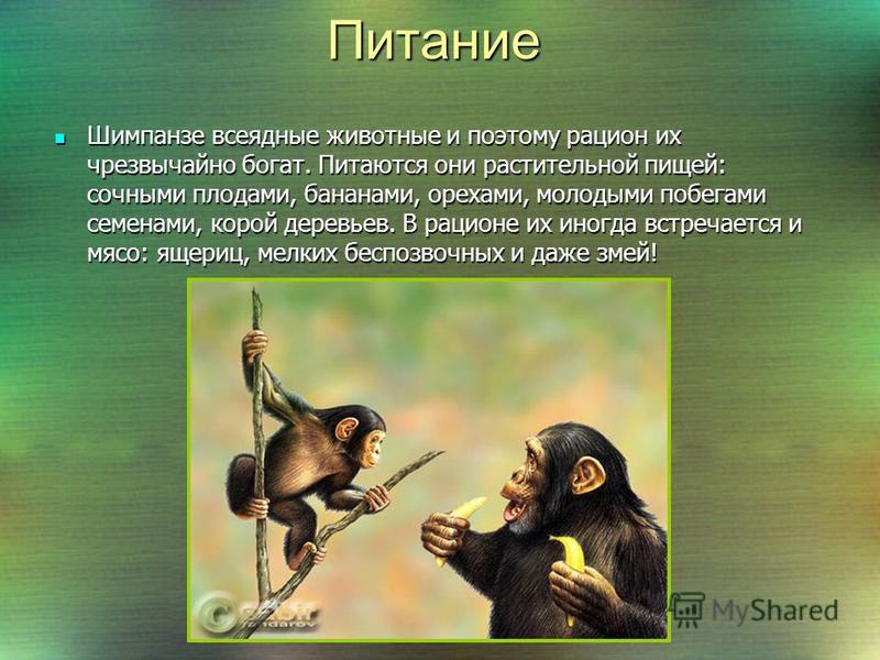 Лёжа на спине, самка шимпанзе бонобо поднимает малыша и внимательно осматривает его. Подобную процедуру заботливая мать повторяет несколько раз в день, чтобы убедится, что с детёнышем всё в порядке. Лёжа на спине, самка шимпанзе бонобо поднимает малы