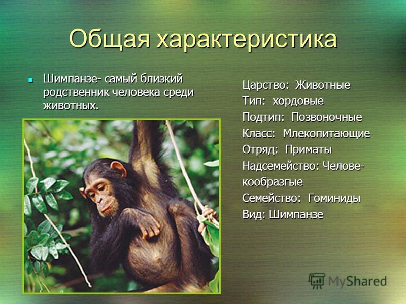 Среда обитания Обезьяны шимпанзе обитают в тропически лесах Африки, а так же в прилегающих к ним районах. Обезьяны шимпанзе обитают в тропически лесах Африки, а так же в прилегающих к ним районах. Они хорошо себя чувствуют и в прилегающих к лесам сав