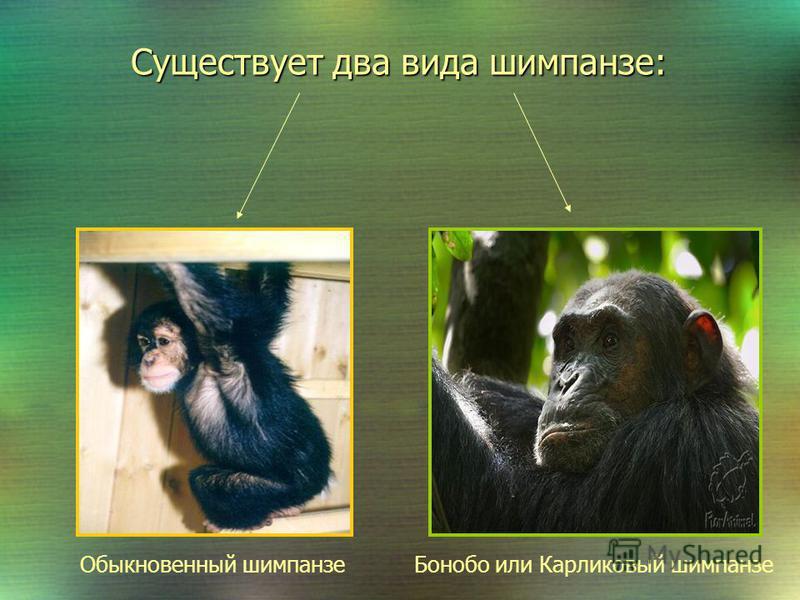 Общая характеристика Шимпанзе- самый близкий родственник человека среди животных. Шимпанзе- самый близкий родственник человека среди животных. Царство: Животные Тип: хордовые Подтип: Позвоночные Класс: Млекопитающие Отряд: Приматы Надсемейство: Челов