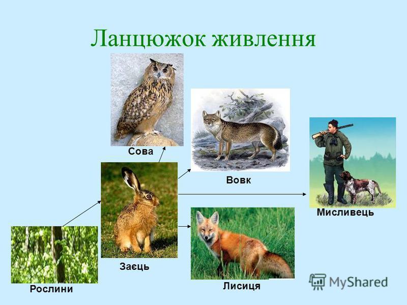 Ланцюжок живлення Заєць Рослини Сова Вовк Лисиця Мисливець