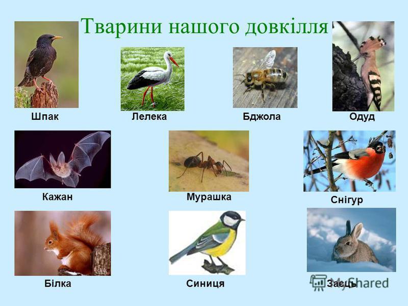 Тварини нашого довкілля ШпакЛелекаБджолаОдуд КажанМурашка Снігур БілкаСиницяЗаєць