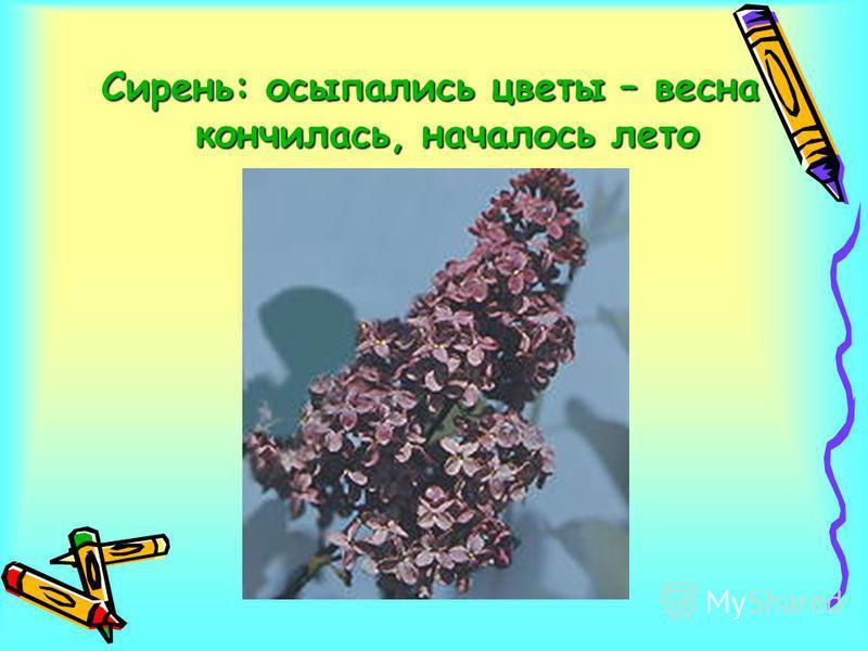 Сирень: осыпались цветы – весна кончилась, началось лето