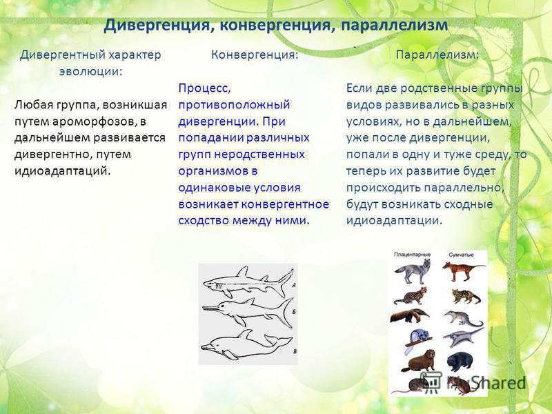 Дивергенция, конвергенция, параллелизм Дивергентный характер эволюции: Любая группа, возникшая путем ароморфозов, в дальнейшем развивается дивергентно, путем идиоадаптаций. Конвергенция: Процесс, противоположный дивергенции. При попадании различных г
