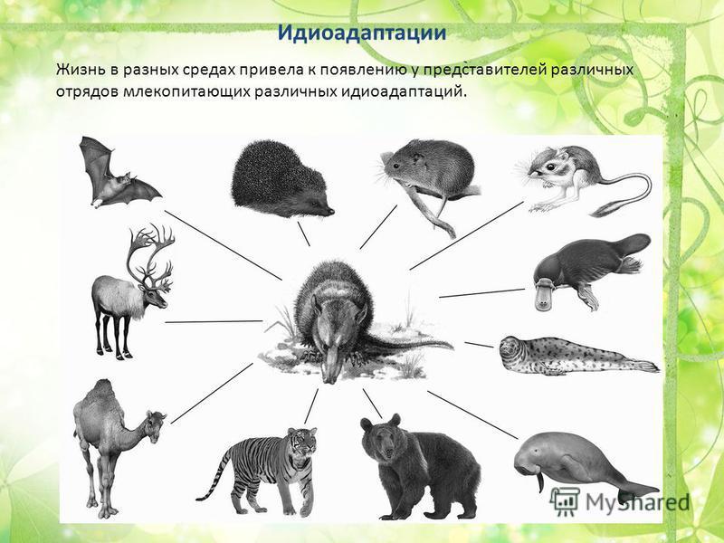 Жизнь в разных средах привела к появлению у представителей различных отрядов млекопитающих различных идиоадаптаций. Идиоадаптации