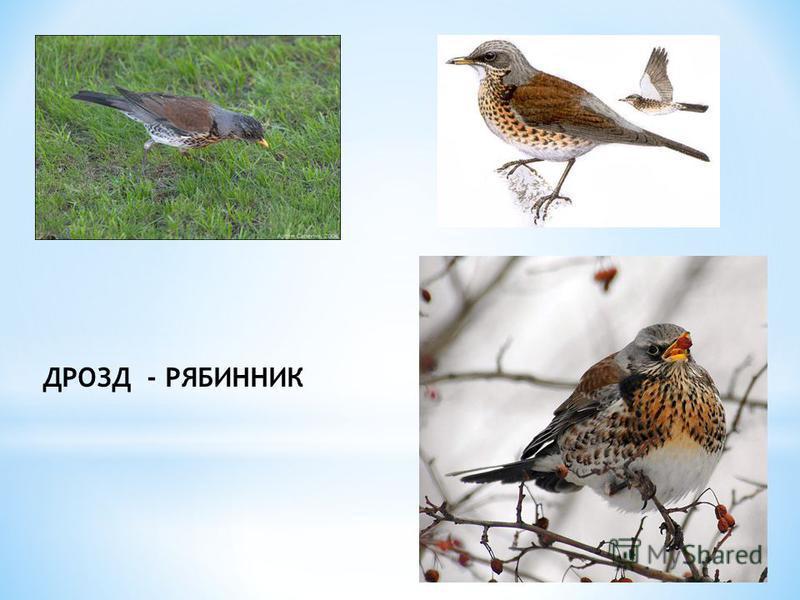 ДРОЗД - РЯБИННИК