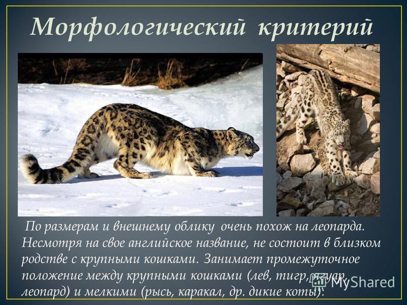 Морфологический критерий По размерам и внешнему облику очень похож на леопарда. Несмотря на свое английское название, не состоит в близком родстве с крупными кошками. Занимает промежуточное положение между крупными кошками (лев, тигр, ягуар, леопард)