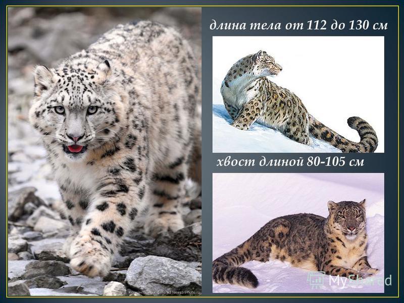 длина тела от 112 до 130 см хвост длиной 80-105 см
