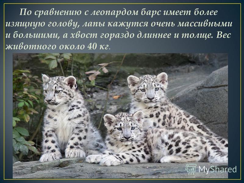 По сравнению с леопардом барс имеет более изящную голову, лапы кажутся очень массивными и большими, а хвост гораздо длиннее и толще. Вес животного около 40 кг.