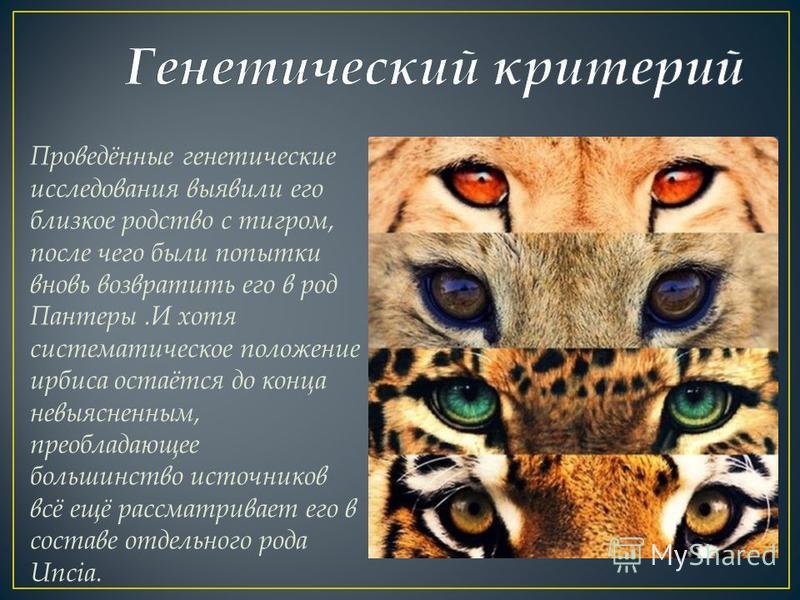 Проведённые генетические исследования выявили его близкое родство с тигром, после чего были попытки вновь возвратить его в род Пантеры.И хотя систематическое положение ирбиса остаётся до конца невыясненным, преобладающее большинство источников всё ещ