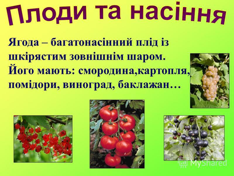 Ягода – багатонасінний плід із шкірястим зовнішнім шаром. Його мають: смородина,картопля, помідори, виноград, баклажан…