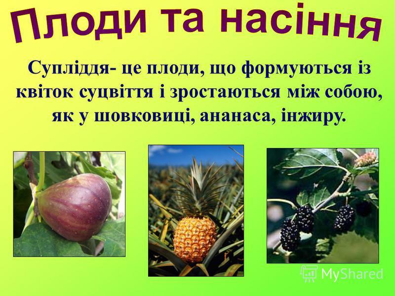 Супліддя- це плоди, що формуються із квіток суцвіття і зростаються між собою, як у шовковиці, ананаса, інжиру.