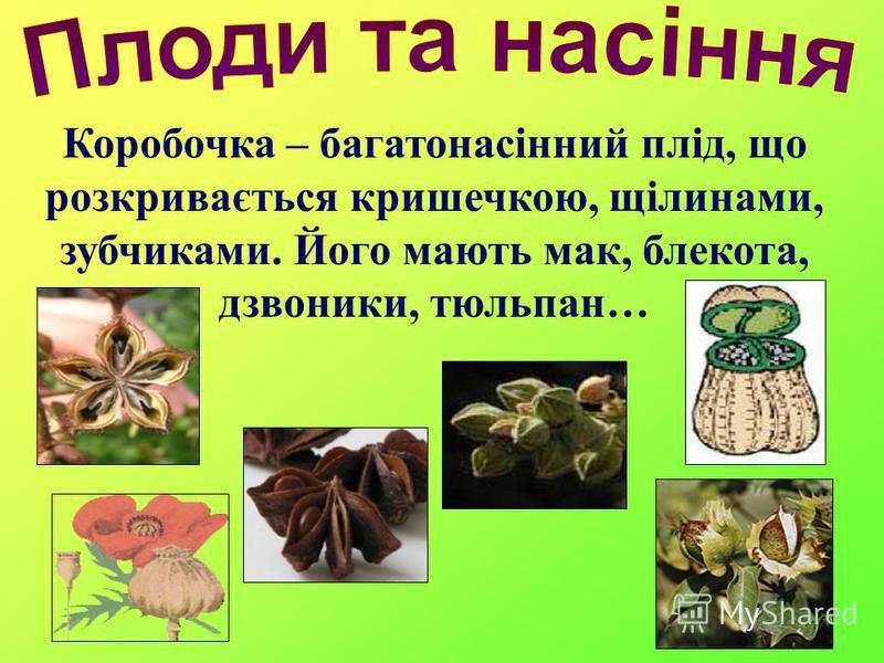 Коробочка – багатонасінний плід, що розкривається кришечкою, щілинами, зубчиками. Його мають мак, блекота, дзвоники, тюльпан…
