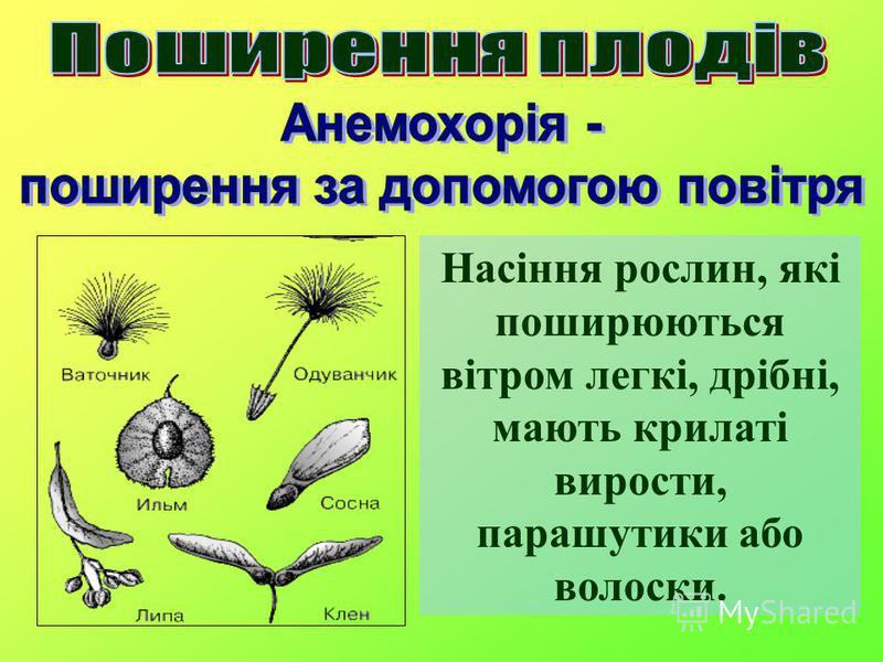 Насіння рослин, які поширюються вітром легкі, дрібні, мають крилаті вирости, парашутики або волоски.