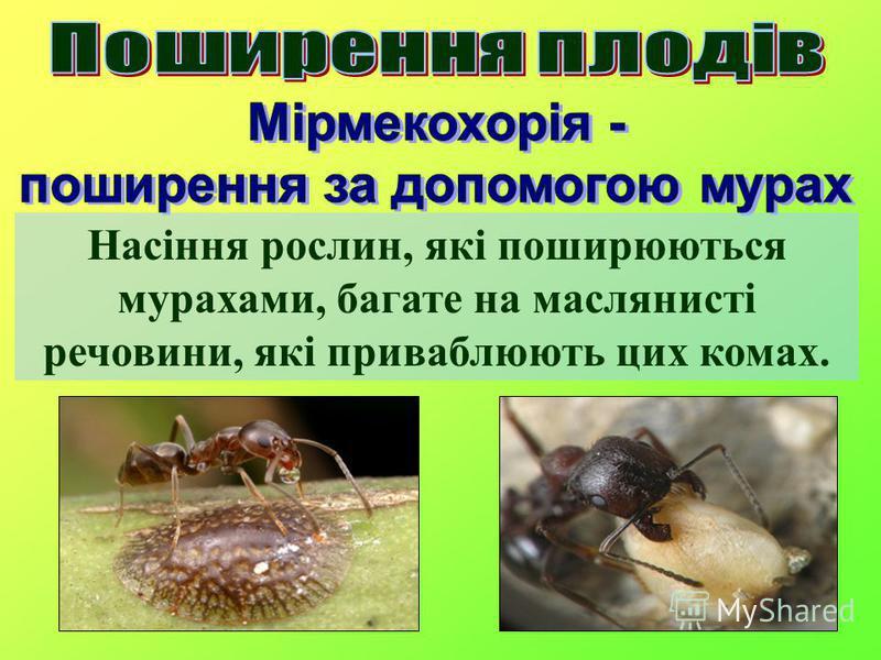 Насіння рослин, які поширюються мурахами, багате на маслянисті речовини, які приваблюють цих комах.