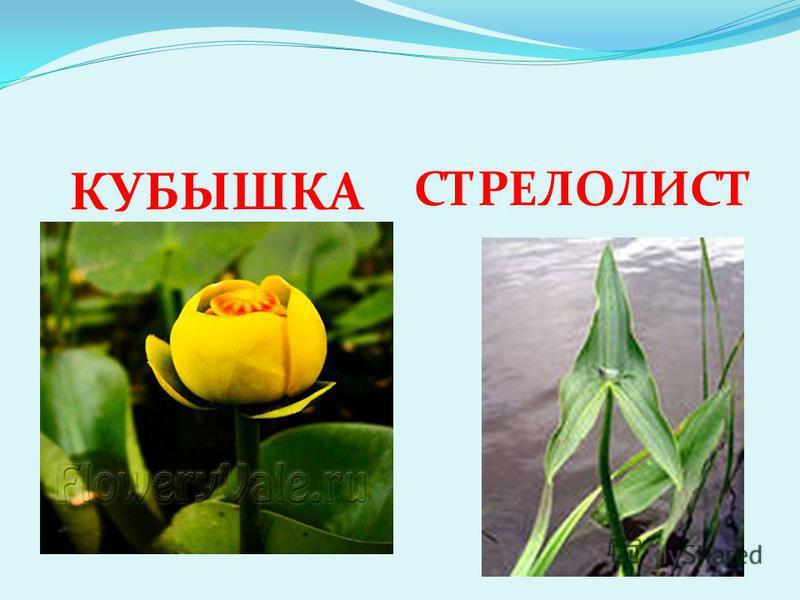 КУБЫШКА СТРЕЛОЛИСТ