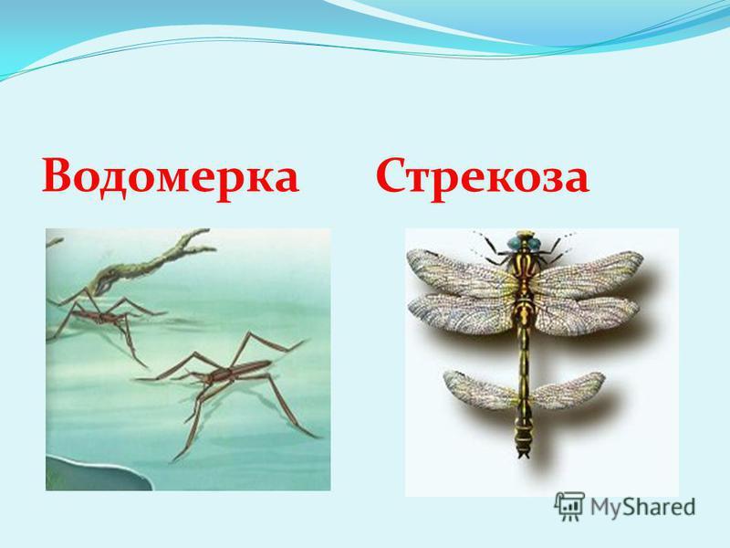 Водомерка Стрекоза