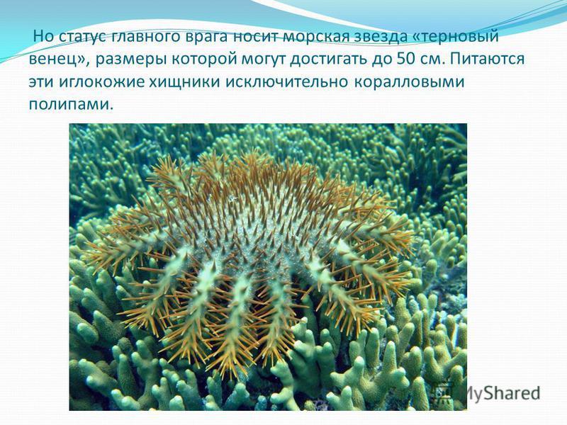 Но статус главного врага носит морская звезда «терновый венец», размеры которой могут достигать до 50 см. Питаются эти иглокожие хищники исключительно коралловыми полипами.