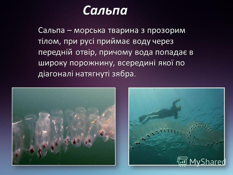 Сальпа Сальпа – морська тварина з прозорим тілом, при русі приймає воду через передній отвір, причому вода попадає в широку порожнину, всередині якої по діагоналі натягнуті зябра.