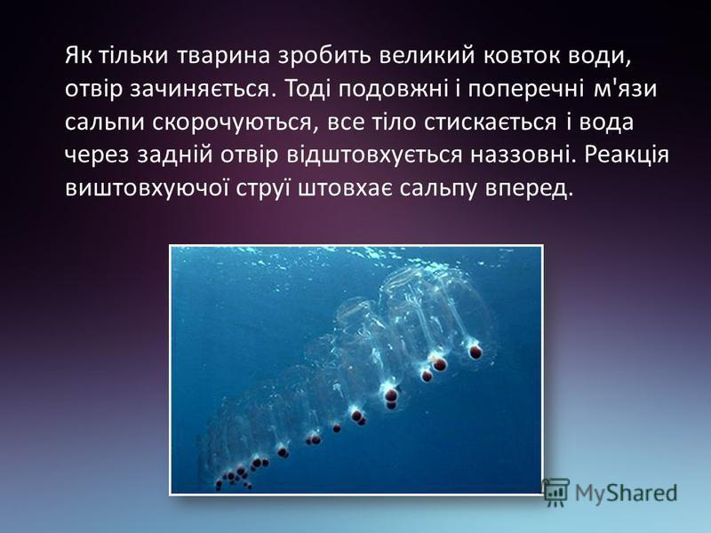 Як тільки тварина зробить великий ковток води, отвір зачиняється. Тоді подовжні і поперечні м'язи сальпи скорочуються, все тіло стискається і вода через задній отвір відштовхується наззовні. Реакція виштовхуючої струї штовхає сальпу вперед.