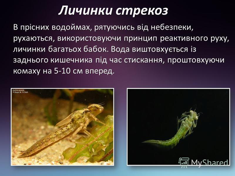 Личинки стрекоз В прісних водоймах, рятуючись від небезпеки, рухаються, використовуючи принцип реактивного руху, личинки багатьох бабок. Вода виштовхується із заднього кишечника під час стискання, проштовхуючи комаху на 5-10 см вперед.